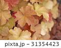 ヒューケラの葉 31354423