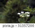 紫陽花 花 植物の写真 31357200
