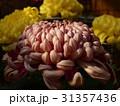 大菊に注がれた陽射し 31357436
