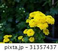 小奇麗に咲いた小菊 31357437