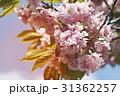 桜 サクラ 樹木の写真 31362257