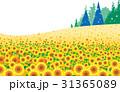 ひまわり畑 31365089