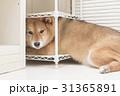 隠れてない柴犬 31365891