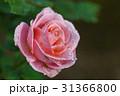 薔薇の花 31366800