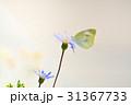 モンシロチョウ 花 チョウの写真 31367733