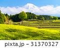 静岡県 茶畑 畑の写真 31370327