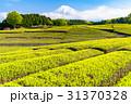 静岡県 茶畑 畑の写真 31370328