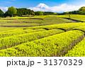 静岡県 茶畑 畑の写真 31370329