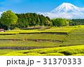 《静岡県》富士山と大淵笹場の茶畑 31370333