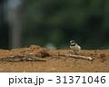 コチドリ 野鳥 小鳥の写真 31371046