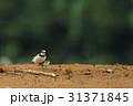 コチドリ 野鳥 小鳥の写真 31371845