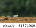 コチドリ 野鳥 小鳥の写真 31371989