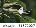 昆虫 虫 チョウの写真 31372027