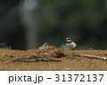 コチドリ 野鳥 小鳥の写真 31372137