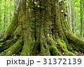 巨木 苔 森の神の写真 31372139