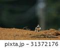 コチドリ 野鳥 小鳥の写真 31372176