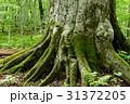 巨木 苔 森の神の写真 31372205