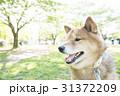 新緑の公園の柴犬 31372209