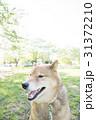 新緑の公園の柴犬 31372210