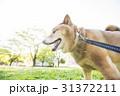 新緑の公園の柴犬 31372211