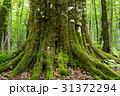 巨木 苔 森の神の写真 31372294