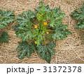 ズッキーニ畑 31372378