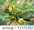 ズッキーニ畑 31372382