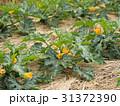 ズッキーニ畑 31372390