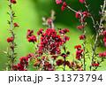 ギョリュウバイ 花 満開の写真 31373794
