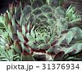 サボテン(センペルビウム ブルーボーイ) 31376934