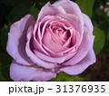 藤色のバラ・ブルームーン 31376935