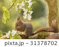 リス りす 栗鼠の写真 31378702
