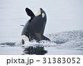 知床の海でジャンプするシャチ 31383052