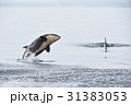 知床の海でジャンプするシャチ 31383053