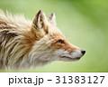 キタキツネ 横顔 狐の写真 31383127