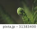 シダ 葉 緑の写真 31383400