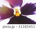 パンジー お花 フラワーの写真 31383451