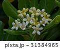 トベラ 海桐花 トベラ科の写真 31384965