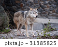 Wolf in the zoo 31385825
