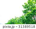 新緑 葉 植物の写真 31389518