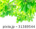 新緑 葉 植物の写真 31389544