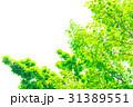 爽やかな新緑イメージ 森林 葉っぱ エコロジー 見上げる 植物 春イメージ 31389551
