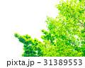 新緑 葉 植物の写真 31389553