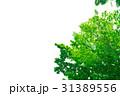 新緑 葉 植物の写真 31389556
