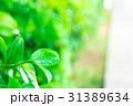 新緑 葉 植物の写真 31389634