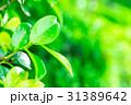 爽やかな新緑イメージ 森林 葉っぱ エコロジー 見上げる 植物 春イメージ 31389642