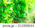 爽やかな新緑イメージ 森林 葉っぱ エコロジー 見上げる 植物 春イメージ 31389644