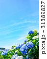紫陽花 花 開花の写真 31389827