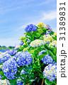 紫陽花 花 開花の写真 31389831