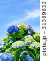 紫陽花 花 開花の写真 31389832